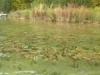 Polygonum amphibium