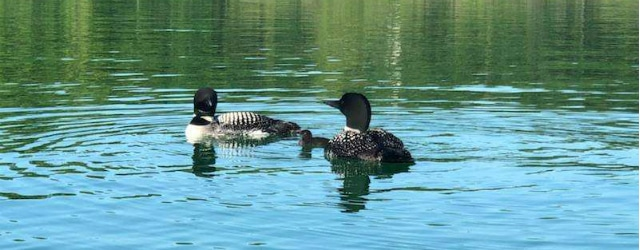 2018 Loon Chick